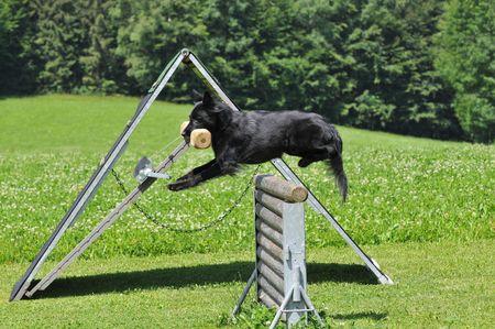 Groenendael jumping photo