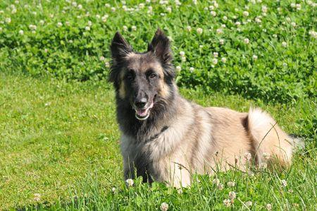 Tervueren Portrait Stock Photo