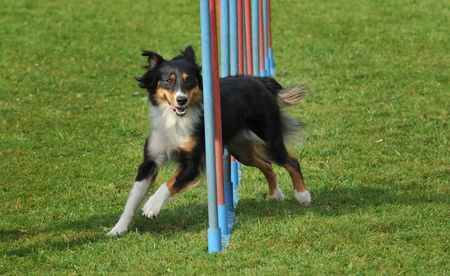 conformation: Agility Stock Photo