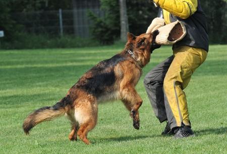 german shepherd in action Stock Photo