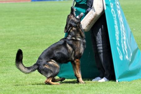 german shepherd in action Standard-Bild