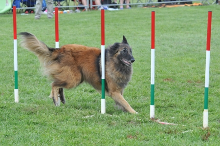 dog competition photo