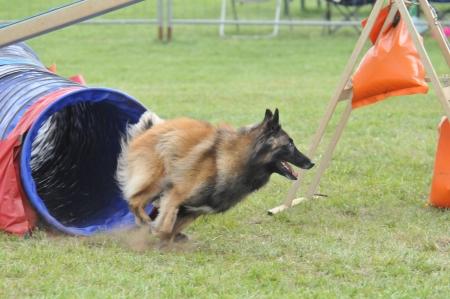 engedelmesség: dog verseny Stock fotó