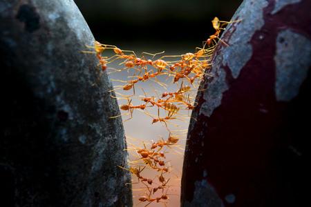 bridge in nature: The weaver ants building an ant bridge