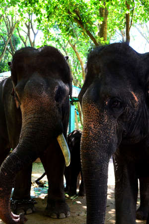 domesticated: Domesticated Asian elephants