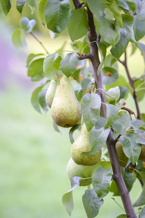 pears on the tree - ideal for compote