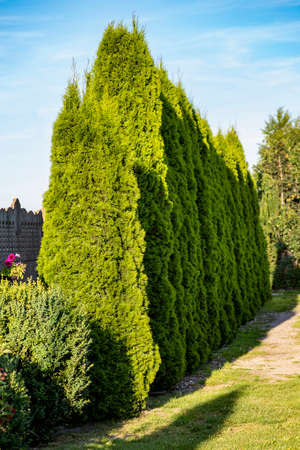row of thuja trees against the blue sky