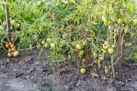 tomato bushes in the home garden - Stok Fotoğraf