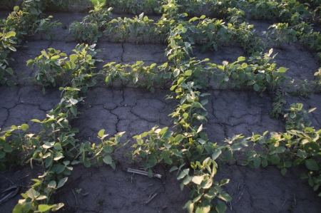 The soil around soybean plants cracks for lack of rainfall  photo