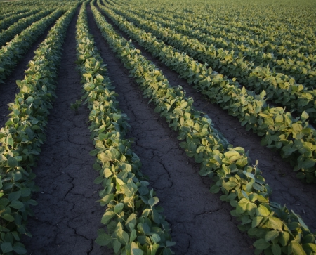 The arid earth around soybean plants cracks for lack of water  photo