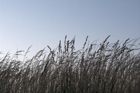 背の高い茶色; のシルエット水色の空背の高い草の草原と草原の草は野生の火によってチェックで保たれた生態系です。