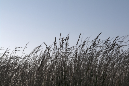 Silhouette of tall brown; prarie grass against light blue sky  Tall grass prarie is an ecosystem kept in check by wild fires
