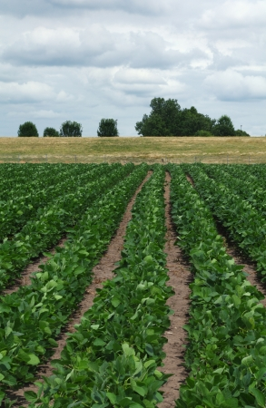 Rows of soybean prarie berm blue sky white clouds  photo