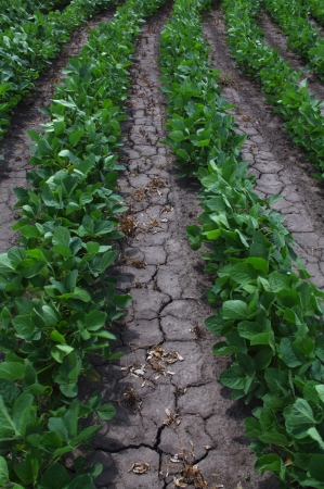 Dry earth cracks around rows of soybean  photo
