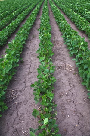Rows of soybean in the arid cracked earth