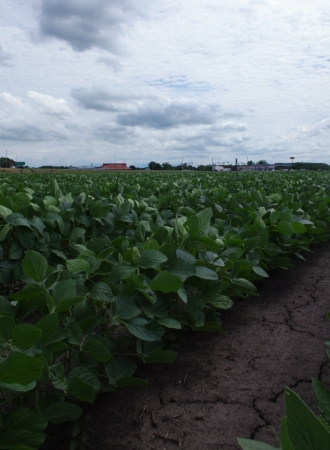 Green soybean growing in parched earth under blue sky with white clouds