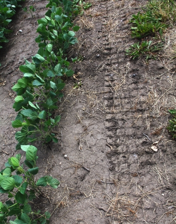 Tire track in dry earth near row of soybean crop