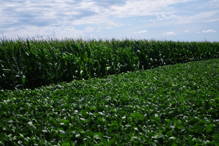 Horizontal row of green corn next to field of soybean  photo