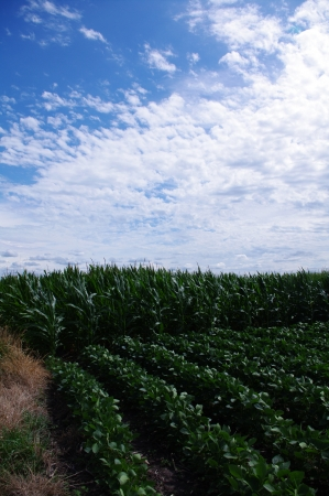 Tall green corn next to rows of soybean again bright blue sky with white clouds