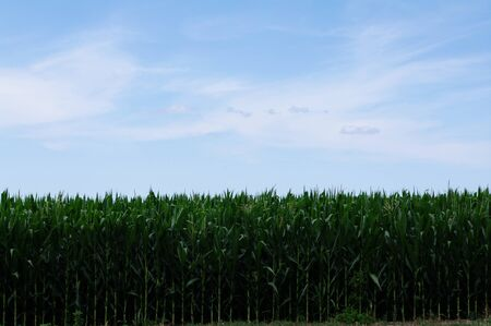 Horizontal tall green row of corn against subtle blue sky with white clouds  photo