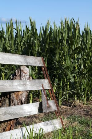 Rusty wooden gate propped on stop opened to tall green corn field against blue sky and cloud  photo