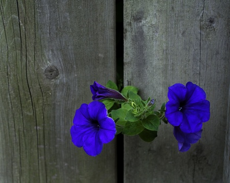 crack: Vibrant blue flowers grow through space between boards of gray privacy fence to bloom on other side in morning light