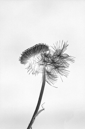 Black and white reversal of thistle with flying seeds attached. Stock Photo