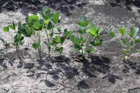earth handful: Handful of young soybean plants with sharp shadows and cracks in earth.