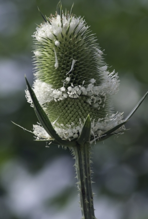 invasive species: Cut-leaf Teasel (Dipsacus laciniatus) is an invasive species in the United States. Dipsacus is a genus of flowering plant in the family Dipsacaceae. The members of this genus are known as teasel or teazel or teazle.