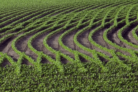 Rows of young, bright, soybeans form interesting patterns.
