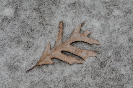 Fallen Pin-Oak leaf lies in glittering snow on driveway Banco de Imagens