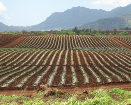 Pineapple fields on Oahu, Hawaii