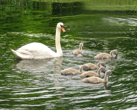 plymouth: Swan and cygnets, Jenney Pond, Plymouth, MA