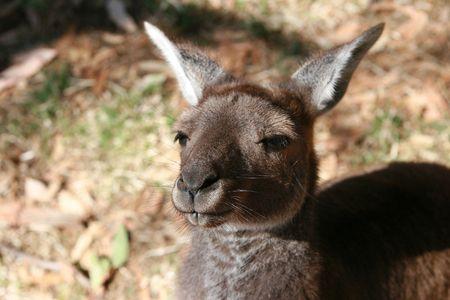 pelikan: Kangaroos in Australia