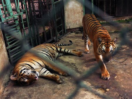 Couple of tigers in captivity inside a cage Stock Photo