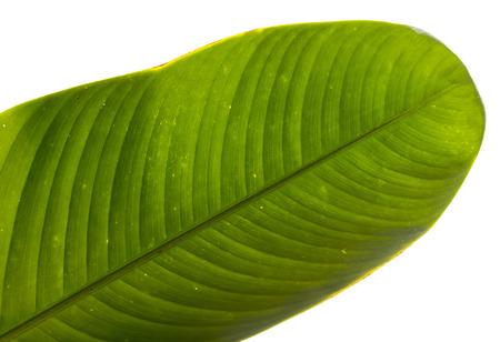 banana leaf: verde hoja de pl�tano fresco Foto de archivo
