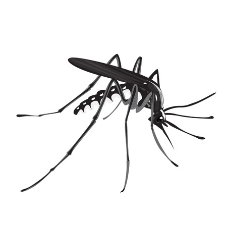 illustration of Aedes aegypti mosquito, dengue and yellow fever transmitter