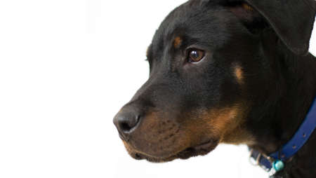 Puppy of doberman and rottweiler mix portrait. Sad and abandoned black puppy. white background. Copy space. Close up.