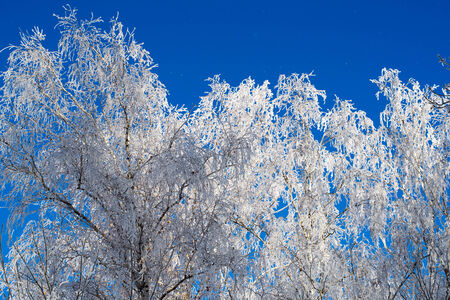 non urban: birch branches in the snow against the sky