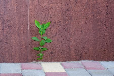 miracle leaf: little green plant grown on a sidewalk