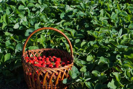 strawberry baskets: basket of ripe strawberries is in the middle of the field in the bushes of strawberries
