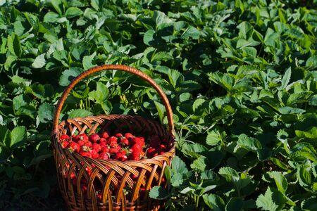 fresa: canasta de fresas maduras está en el medio del campo en los arbustos de fresas