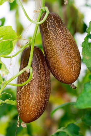 bush with two large brown overripe cucumbers on a branch for growing seeds Stock Photo