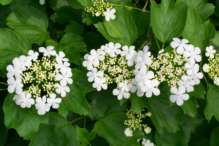 white hydrangea bush with three blooming flowers close-up