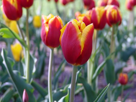 spring time tulip garden with red and yellow flowers Stock Photo