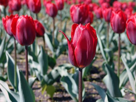 spring time tulip garden with red flowers Stock Photo