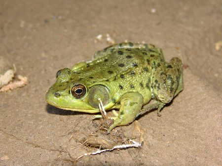 croak: small green frog sitting in mud on river bank