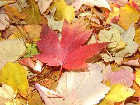 focal point: small pile of autumn leaves with focal point on red leaf Stock Photo