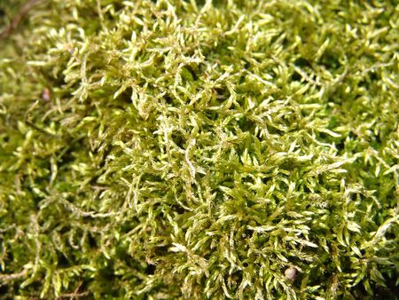 ground cover: macro shot of green ground cover found on the forest floor Stock Photo