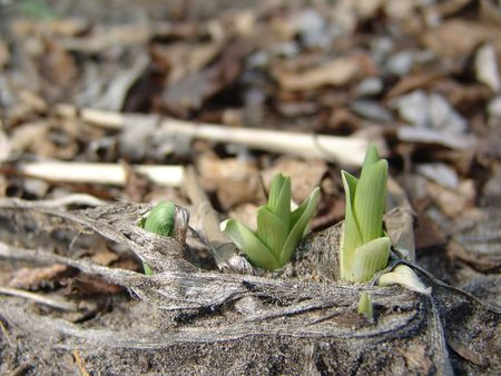emerging economy: green plants sprouting from dirt in early spring
